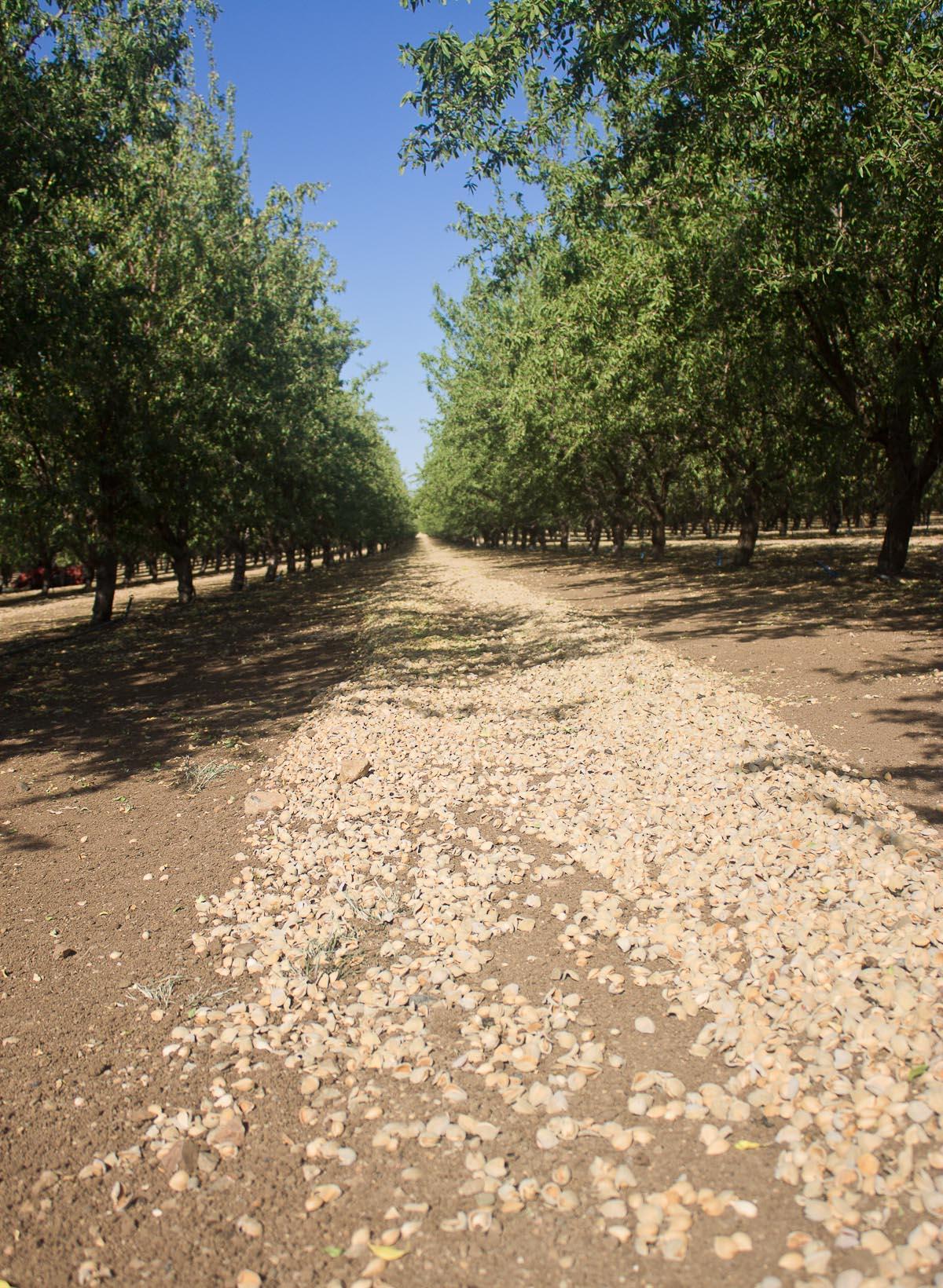 California Almond Orhard -7230